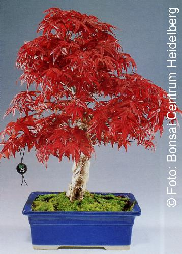 tropica bonsai roter f cherahorn 20 samen acer. Black Bedroom Furniture Sets. Home Design Ideas