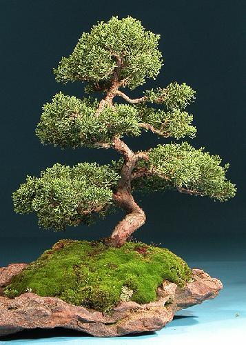 tropica bonsai chinesischer wacholder 30 samen juniperus chinensis ebay. Black Bedroom Furniture Sets. Home Design Ideas
