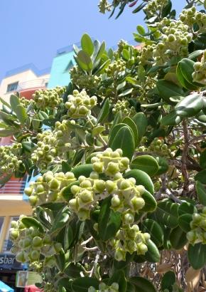 Weihnachtsbaum Samen.Samen Raritäten Australien Neuseeländischer Weihnach