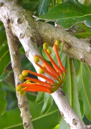 Kaktee Blumen Samen Rarität seltene Pflanzen schnellwüchsig BLEISTIFTSTRAUCH