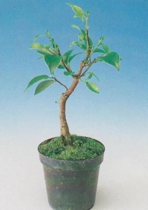 samen rarit ten bonsai b lorbeerfeige. Black Bedroom Furniture Sets. Home Design Ideas
