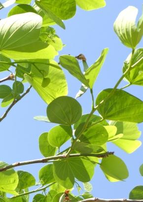 Eine urzeitliche immergrüne Zimmerpflanze Kapok-Baum Ceiba pentandra Samen