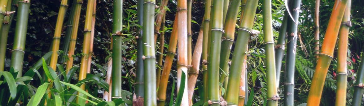 Samen Raritäten Gräser Und Bambus