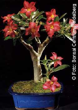 samen rarit ten bonsai b w stenrose. Black Bedroom Furniture Sets. Home Design Ideas