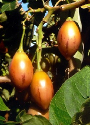 TO-Tamarillo
