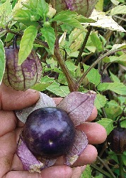 GE-Tomatillo Purple