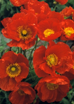 SK-Roter Island-Mohn