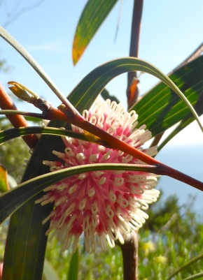 Pincushion-Hakea