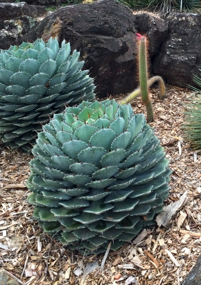 K-Cabbage Head Agave