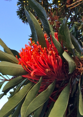 Queensland Baum-Waratah