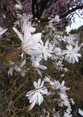 sind magnolien giftig