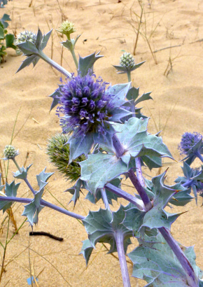 Blaue Stranddistel / Sea Holly