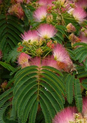 Seidenakazie//Schlafbaum bewegt die Blätter hin und her