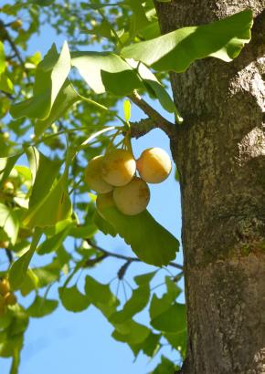 Sortiment 3 Gigantische Baumriesen Selten /& Imposant Ein Samen-Sortiment ....