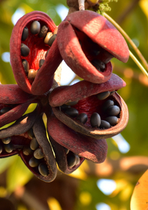 Garten Samen Rarität Exot mehrjährige Baum Staude PALISANDER
